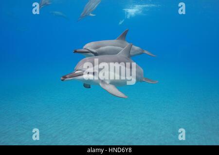 Hawaiian spinner dolphins or Gray's spinner dolphin, Stenella longirostris longirostris, Ho'okena Beach, South Kona, - Stock Photo