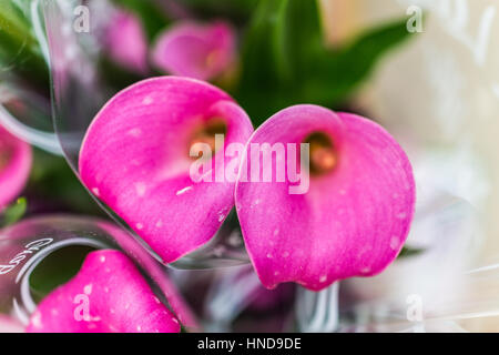 Two pink calla lily flowers macro closeup - Stock Photo
