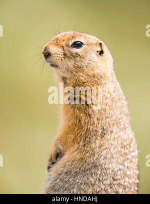 An arctic ground squirrel (Spermophilus parryii) sits and poses on a sunny afternoon in Denali National Park, Alaska. - Stock Photo