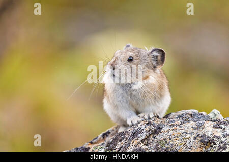 A collared pika (Ochotona collaris) sits on a lichen-covered rock on a cloudy day in Denali National Park, Alaska - Stock Photo
