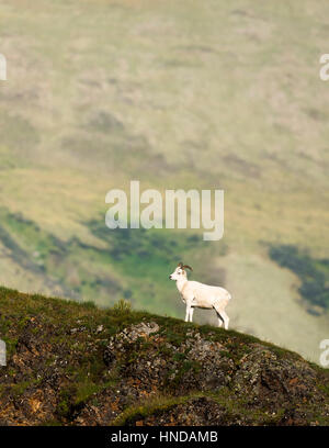 A young Dall's sheep ram (Ovis dalli) stands on a green ridgeline in Denali National Park, Alaska. - Stock Photo