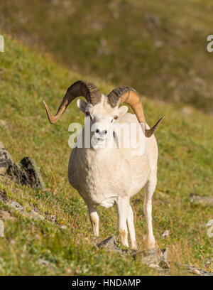 A Dall's sheep (Ovis dalli) ram stands on a steep green mountainside on a sunny afternoon in Denali National Park - Stock Photo