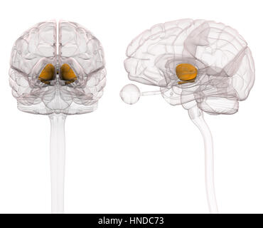 Thalamus Brain Anatomy - Stock Photo