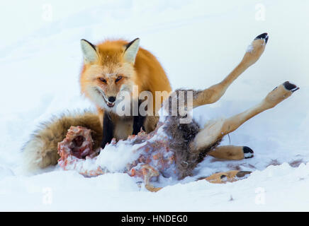 Red fox with carcass of mule deer for dinner in winter - Stock Photo