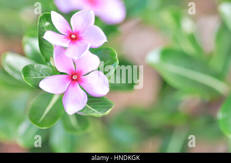 ludwigia adscendens or periwinkle flower - Stock Photo