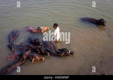 Man washing buffaloes, in Lalita ghat, Ganges river, Varanasi, Uttar Pradesh, India. - Stock Photo