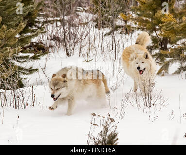 Two Gray Wolves; Canus Lupus; British Columbia; Canada - Stock Photo