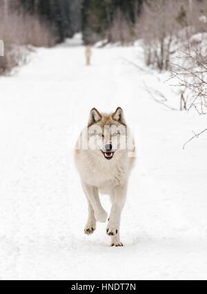 Two Gray Wolves; Canus Lupus; British Columbia; Canada