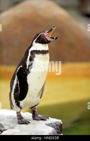 Humboldt Penguin/(Spheniscus humboldti), adult calling, Luisenpark Mannheim, Mannheim, Germany - Stock Photo