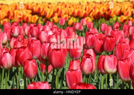 Multicolor Tulips in Skagit Valley Washington on a sunny day - Stock Photo