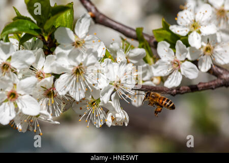Bee flies towards white flowers on flowering trees to collect pollen. - Stock Photo