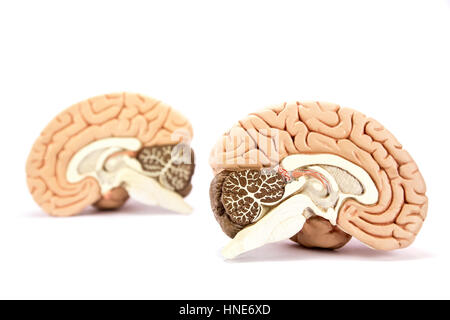Two human brain hemispheres models isolated on white background - Stock Photo