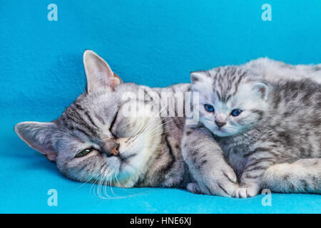 British shorthair black silver tabby spotted mother cat lying with young kitten on blue garments - Stock Photo
