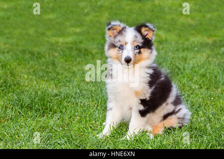Portrait of one young sheltie puppy sitting on green grass - Stock Photo
