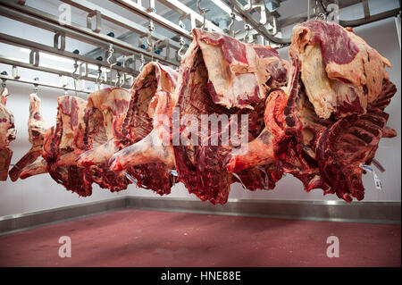 Great ... Beef Carcasses Hanging In The Kill Floor Before Butchery And Processing  In The Meat Processing And