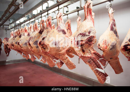 ... Beef Carcasses Hanging In The Kill Floor Before Butchery And Processing  In The Meat Processing And