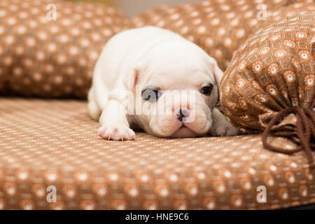 White little french bulldog puppy lies on a couch - Stock Photo