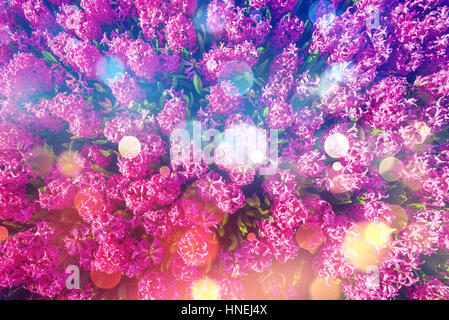 Spring pink hyacinth in the sun - Stock Photo