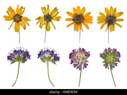Dried and pressed the spring wild flowers isolated on white background. Herbarium of clover and yellow flowers. - Stock Photo
