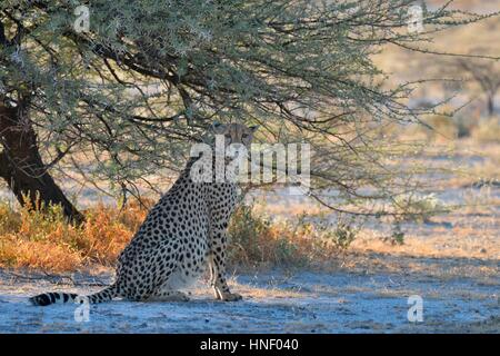 Cheetah (Acinonyx jubatus), female, sitting in the shade of a tree, attentive, Etosha National Park, Namibia - Stock Photo