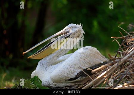 Dalmatian Pelican, (Pelecanus crispus), Europe, adult breeding on nest - Stock Photo