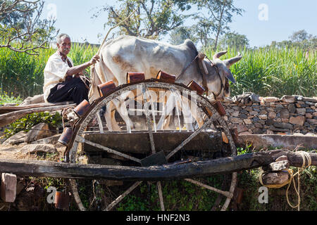 KUMBHALGARH, INDIA - JANUARY 17, 2015: A farmer works a pair of oxen to drive a water wheel in rural Rajasthan. - Stock Photo