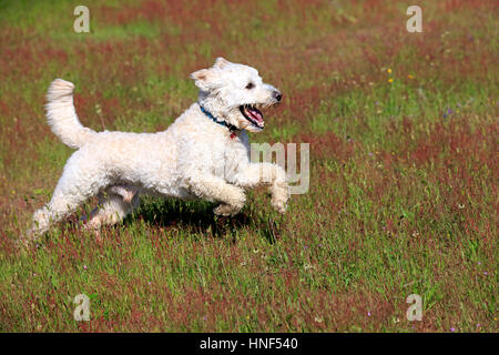 Labradoodle, (Canis lupus familiaris), adult male running in meadow, Rhineland-Palatinate, Germany, Europe - Stock Photo