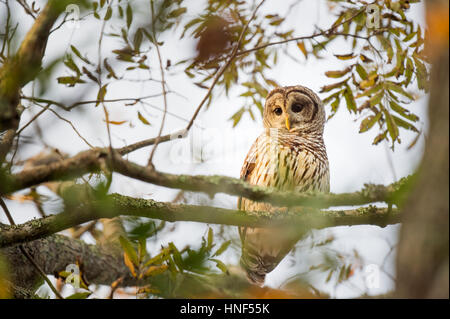 A Barred Owl sits in a tree as the early morning sunlight shines on it showing off its large eyes. - Stock Photo