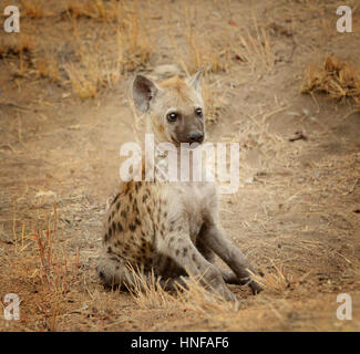 Young hyena pup in Kruger National Park in South Africa watching her surroundings - Stock Photo