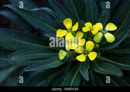 small yellow flowers surrounded by cold green leaves close up selective focus soft focus blurred background - Stock Photo