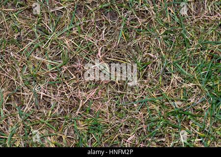 thread lawn