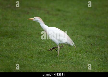 Cattle egret (Bubulcus ibis). - Stock Photo