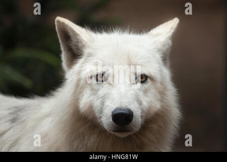 Arctic wolf (Canis lupus arctos), also known as the Melville Island wolf. - Stock Photo