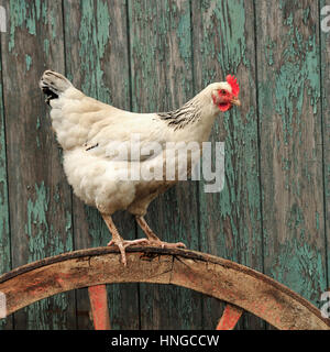 light sussex hen - Stock Photo