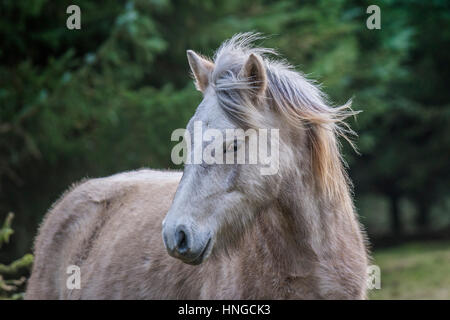 A wild Bodmin Moor pony stands in the rugged habitat of Rough Tor on Bodmin Moor in Cornwall. - Stock Photo