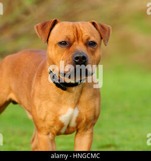 staffordshire bull terrier, red - Stock Photo
