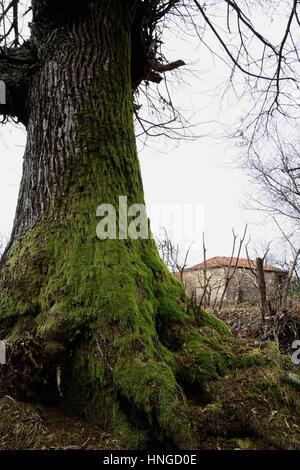 A century-old chestnut tree - Stock Photo