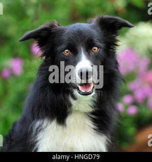 border collie - Stock Photo