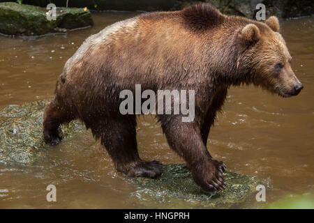Kamchatka brown bear (Ursus arctos beringianus), also known as the Far Eastern brown bear at La Fleche Zoo in the - Stock Photo