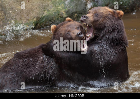 Kamchatka brown bears (Ursus arctos beringianus), also known as the Far Eastern brown bears fighting in water at - Stock Photo