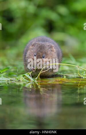 Water vole (Arvicola terrestris) feeding on vegatation at a pond, Kent, England, United Kingdom - Stock Photo
