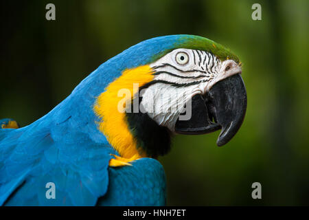 Blue-and-yellow macaw (Ara ararauna), also known as the blue-and-gold macaw. - Stock Photo