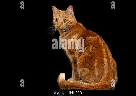 Ginger cat on Isolated Black background - Stock Photo