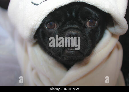 Snug as a pug a selection of images of a black pug looking very cute. Taken front facing Pug in various poses. With - Stock Photo