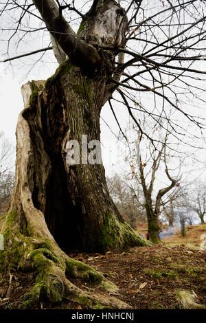 A century-old chestnut tree burned by lightning - Stock Photo