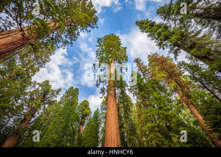 Classic wide-angle view of famous giant sequoia trees, also known as giant redwoods or Sierra redwoods, on a beautiful - Stock Photo