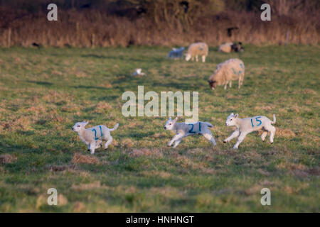 Bradford on Avon, UK. 13th Feb, 2017. 13th February 2017. New born lambs with their mothers enjoy a cold but sunny - Stock Photo