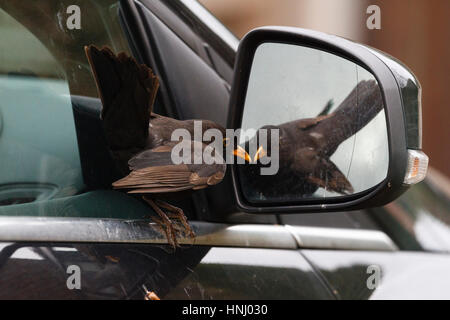 14th Feb 2017. This male Blackbird (Turdus merula) was spotted attacking  its own reflection in a car wing mirror - Stock Photo