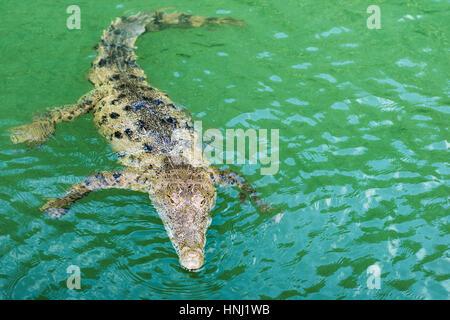 Crocodile swimming in Black river, Jamaica - Stock Photo