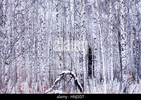 Snow covered on tree trunks in forest - Stock Photo